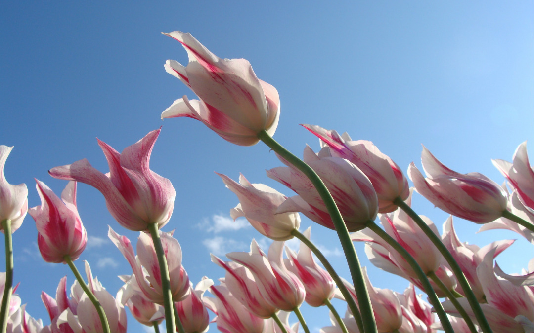 Istanbul – festival tulipana, 4 dana zrakoplovom